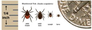 Image showing appearance and relative sizes of adult male and female, nymph and larval ticks (Ixodes scapularis)